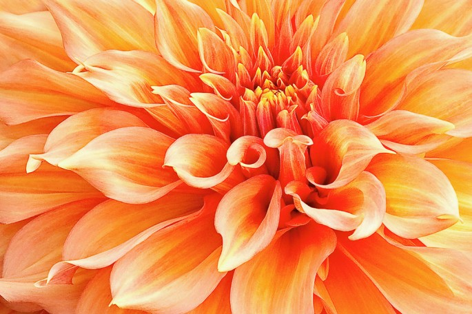 Marilyn Cornwell, </span><span><em>Dahlia in Orange</em>, </span><span>2009