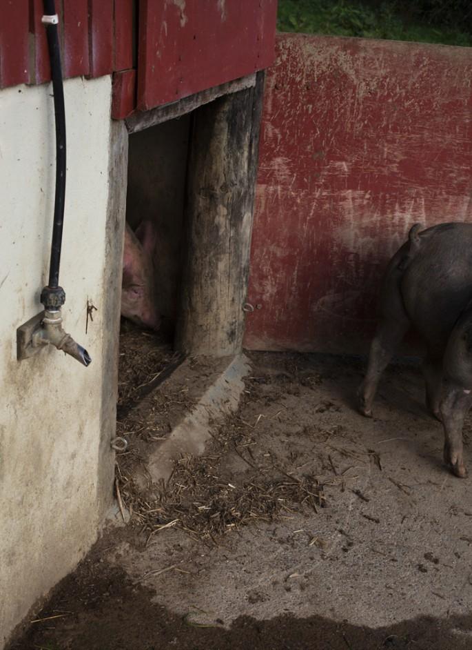 Molly Crealock, </span><span><em>Pig Tail</em>, </span><span>2010