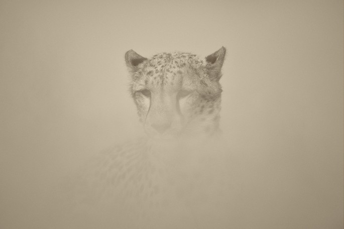 Marie Heintzman, </span><span><em>Cheetah 01, Zambia</em>, </span><span>2014