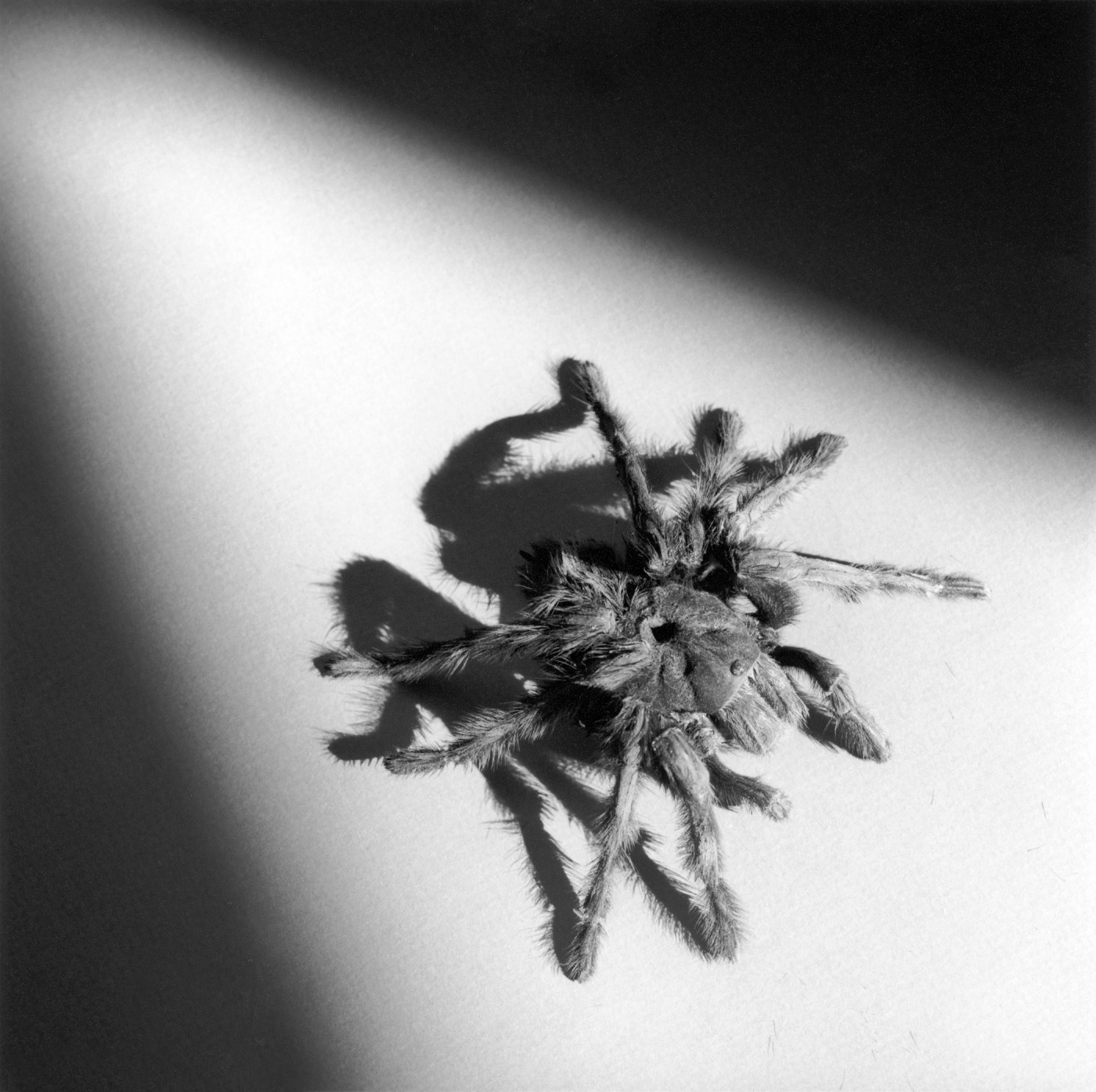 Robert Mapplethorpe, </span><span><em>Tarantula</em>, </span><span>1988 © Robert Mapplethorpe Foundation. Used by permission.