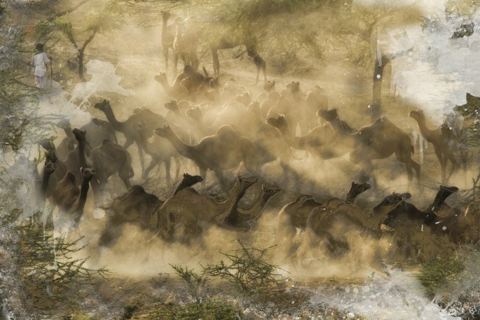 Misha Masek, </span><span><em>Camel Herding a sunrise</em>, </span><span>2014
