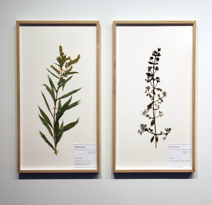 Corin Sworn, </span><span><em>Botanical specimen (Scottish goldenrod) and Botanical specimen (madder)</em>, </span><span>2014. Courtesy of Oakville Galleries.