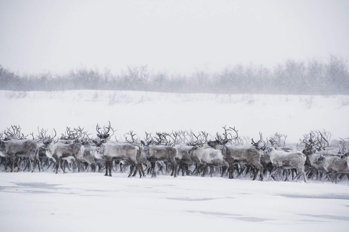"Jason van Bruggen, </span><span><em>Reindeer Herd #4</em>, </span><span>2015. Chromogenic print, 40x60""."